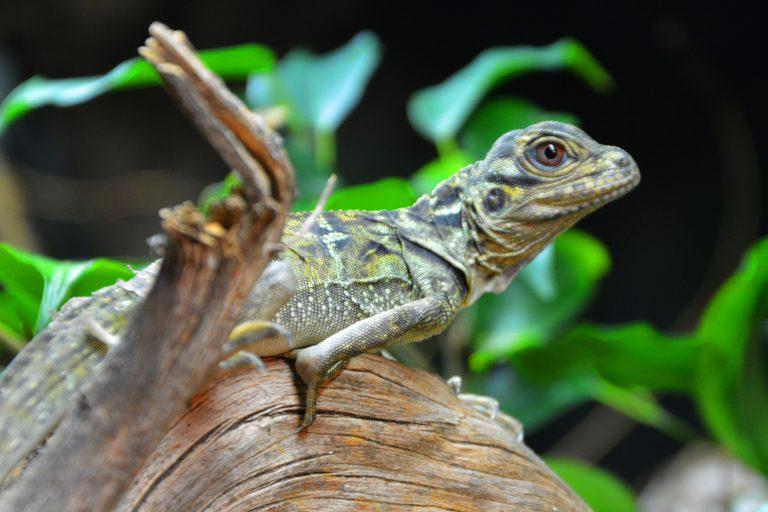 Terra Natura Benidorm incorpora por primera vez a un grupo de hidrosaurios en sus instalaciones