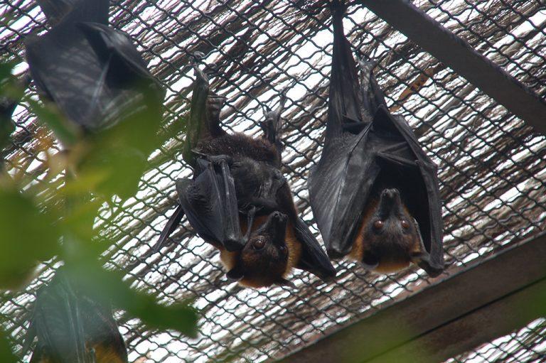 Nuevos nacimientos de zorros voladores en Terra Natura Benidorm